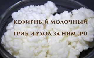 Молочный гриб – правила приема и полезные свойства